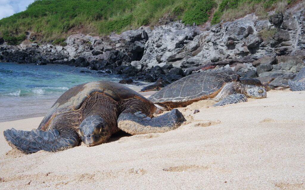 green sea turtle on the beach