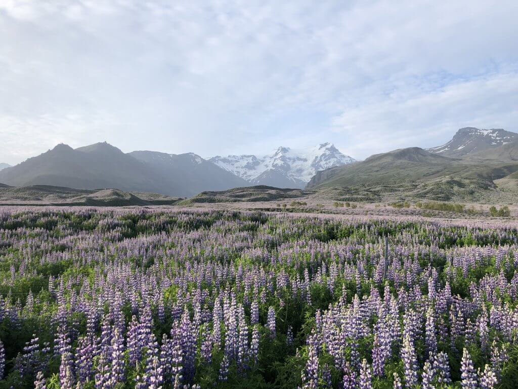 Alaskan Lupine flower field with mountains in the background in Iceland
